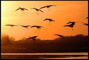 Sandhill cranes landing at sunset for Romans 1 of the creation ministry speaking topics