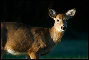 white-tailed deer doe for the photo workshops of the creation ministry speaking topics